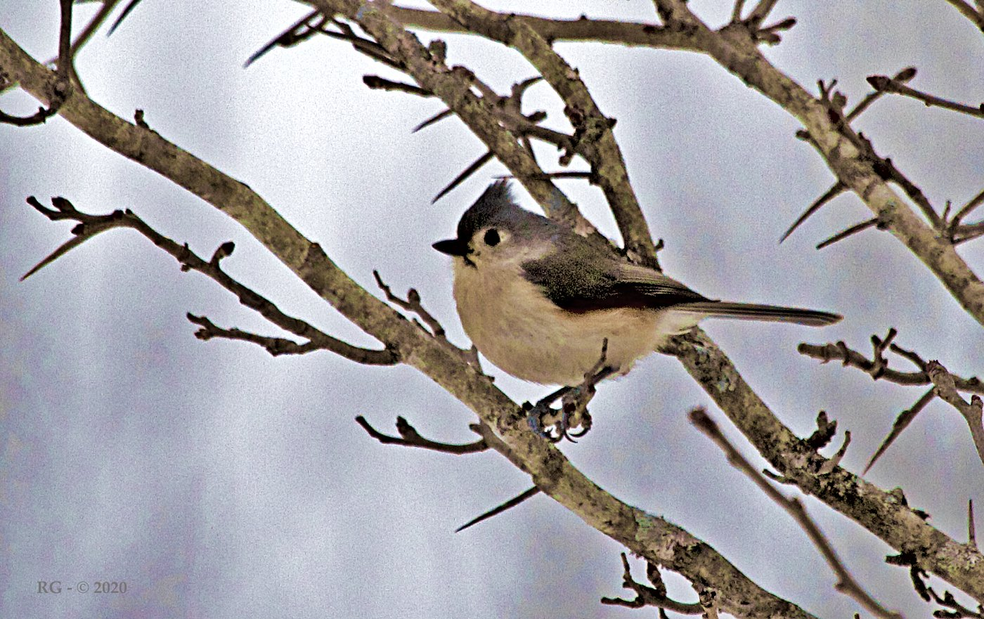 Christmases Past – Tufted Titmouse
