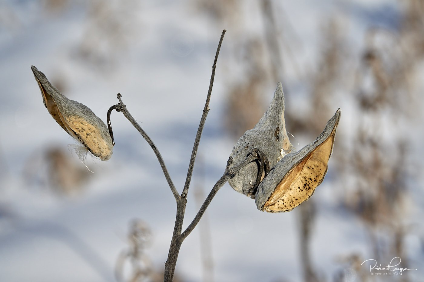 Winter Milkweed