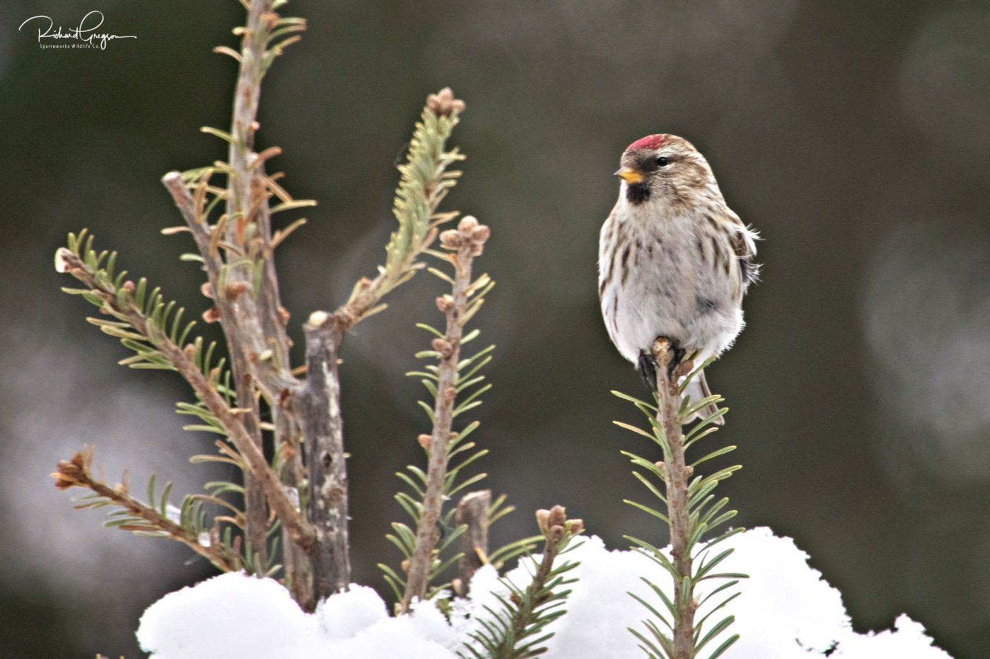 Common Redpoll Flock