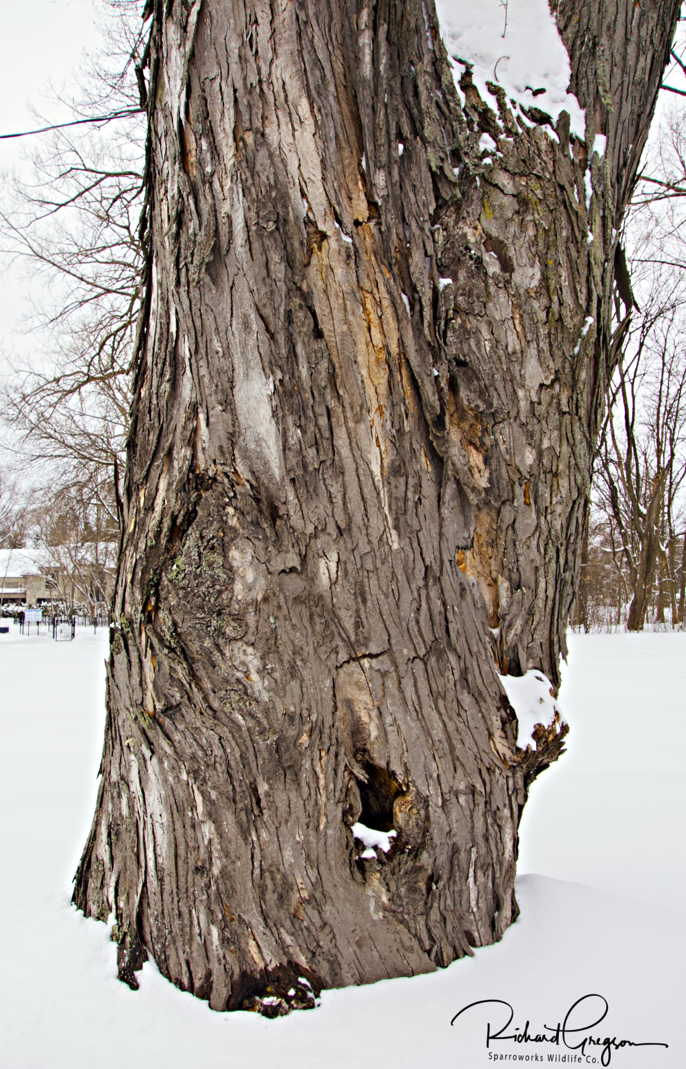 Shaggy Bark