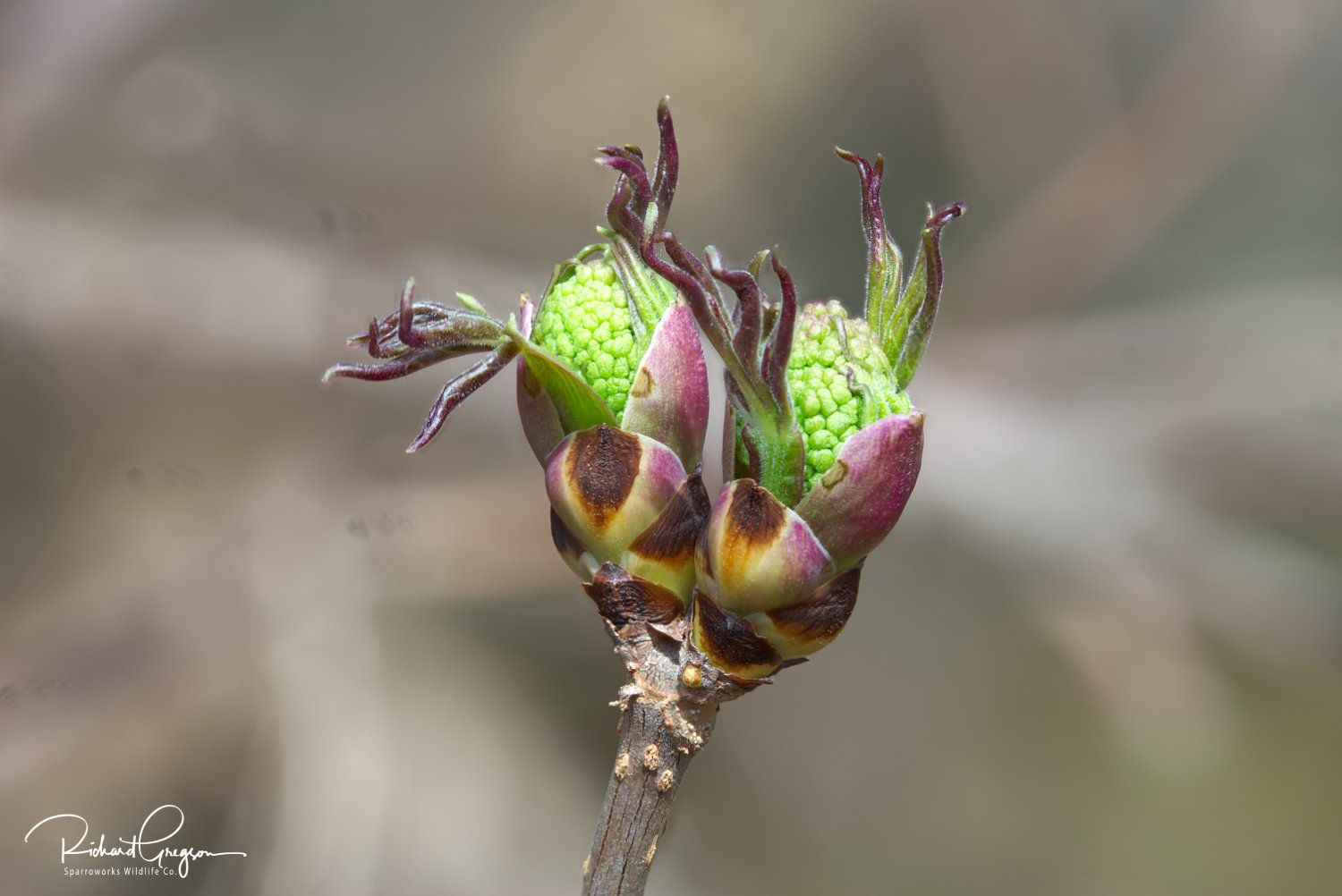 Elder Bud-burst